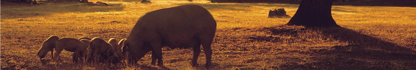 cerdo y sus crias